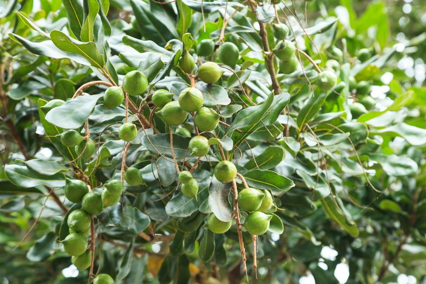 Drought to again see smaller macadamia crop