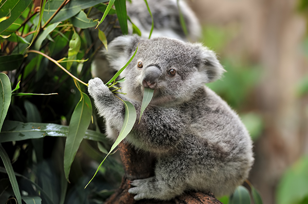 Article image for Calls to declare koalas endangered as species races toward extinction