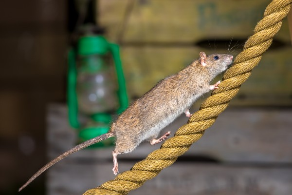 Rats go hungry after restaurants close