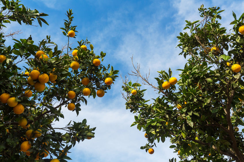 Citrus harvest continues through border closures
