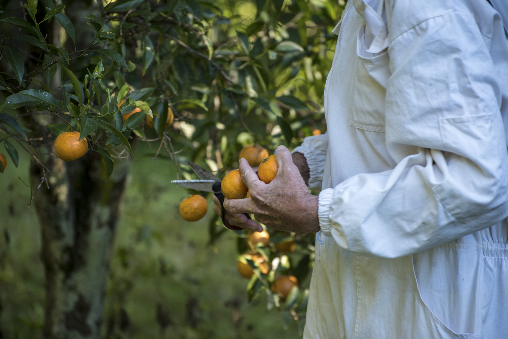 Article image for Tonnes of fruit left to 'rot on the crop' with NSW border closed