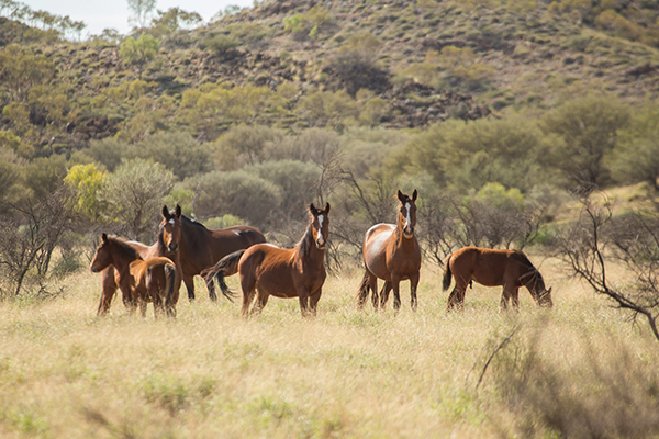 Article image for Environment Minister urged to reconsider brumby removal