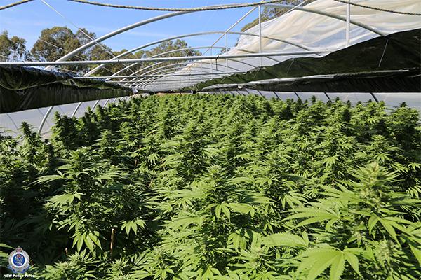cannabisBust04