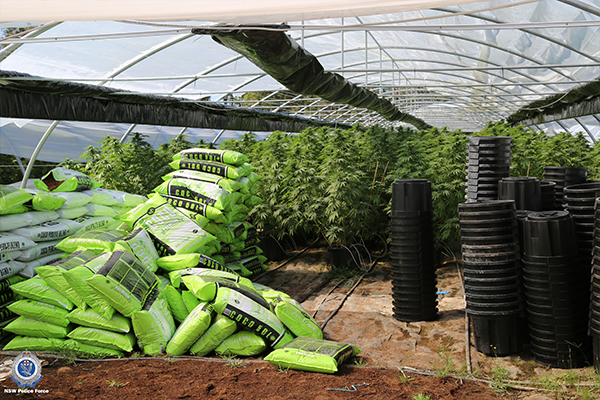 cannabisBust05