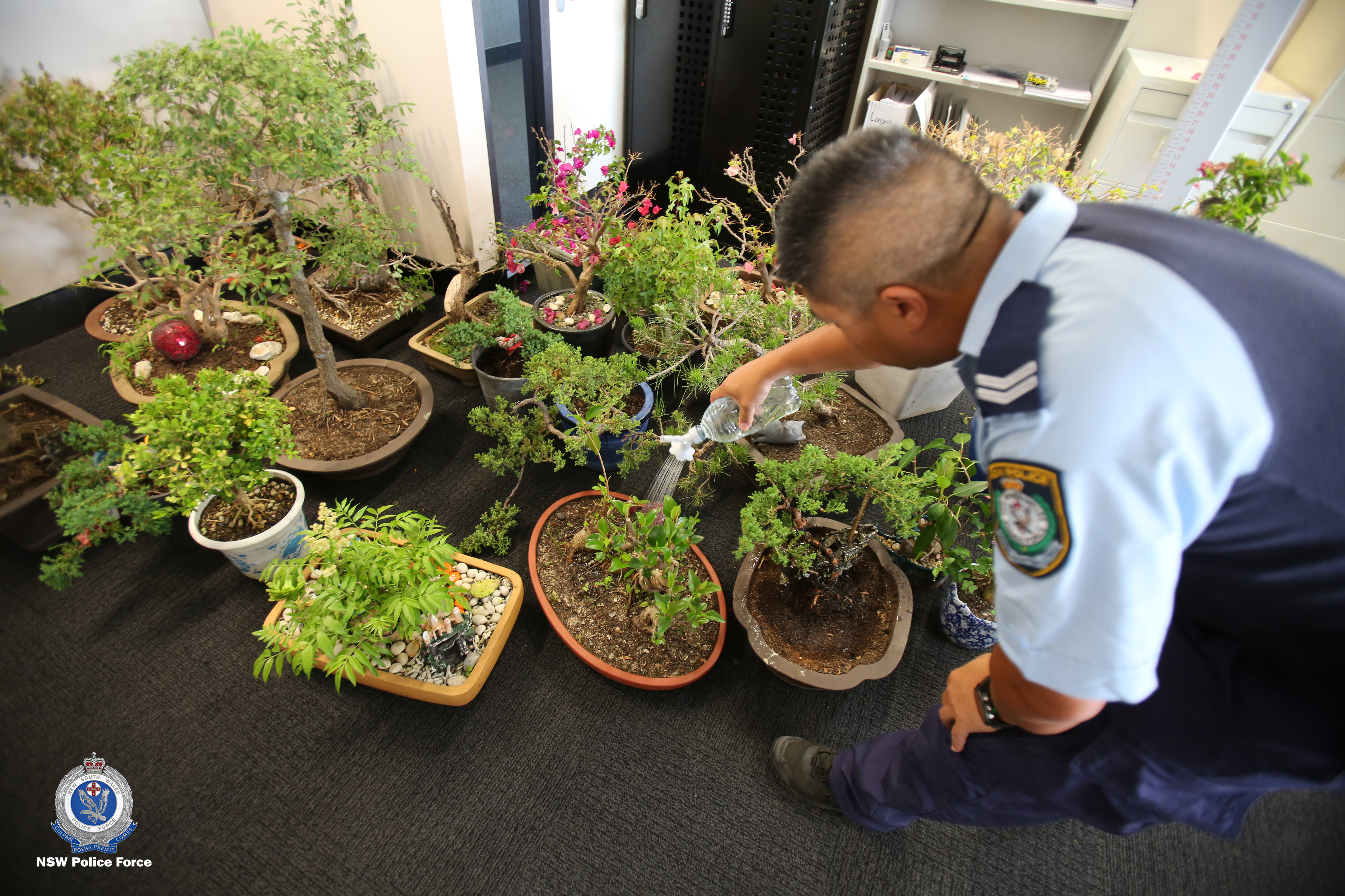 Article image for PHOTOS | $30,000 of stolen bonsai trees seized by police