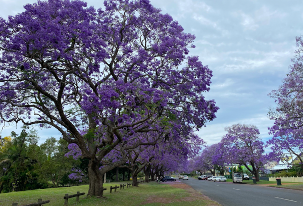 Article image for Jacaranda capital quick to remind Sydney council who holds the crown
