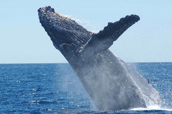 The whale super pod having a feeding frenzy