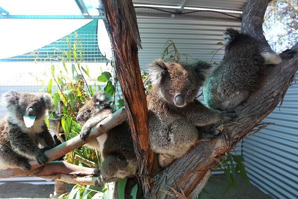 Koala Hospital announces breeding program to help rebuild after bushfires