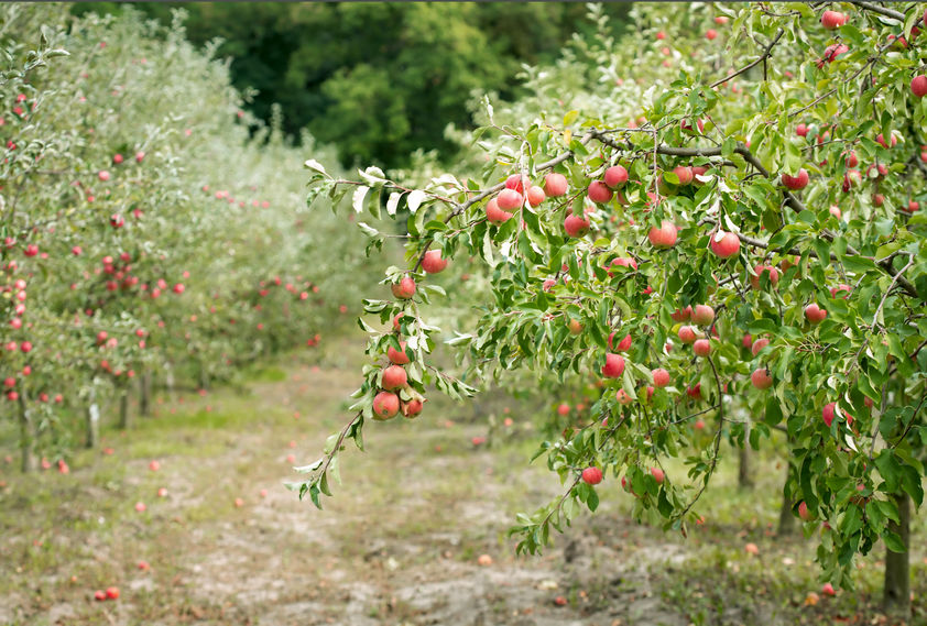 URGENT: 6,500 apple pickers needed