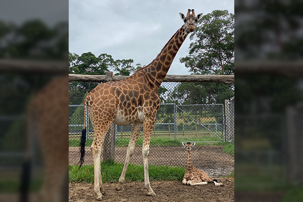 Article image for The big reveal: Baby giraffe bestowed with true blue name by 2GB listeners