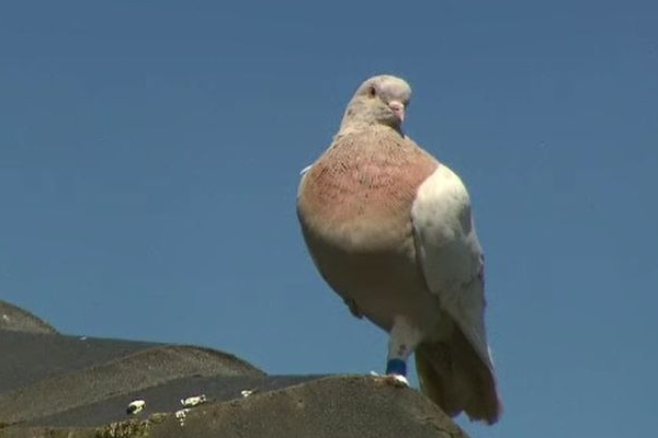 Article image for Immigrant pigeon's background debunked by expert