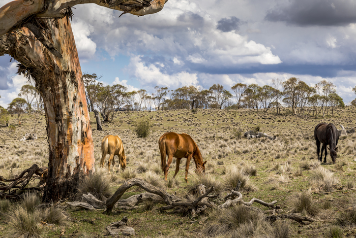 Article image for Controversial brumby debate reignited following Kosciuszko survey