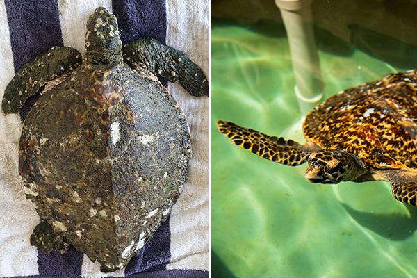 Avalon the Hawksbill Turtle rehabilitated at Sydney Aquarium