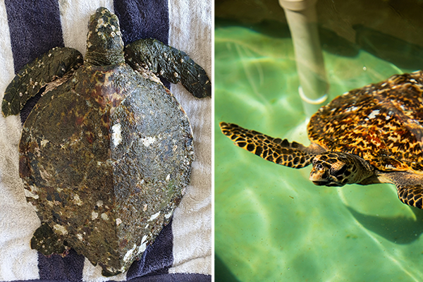 Article image for Avalon the Hawksbill Turtle rehabilitated at Sydney Aquarium