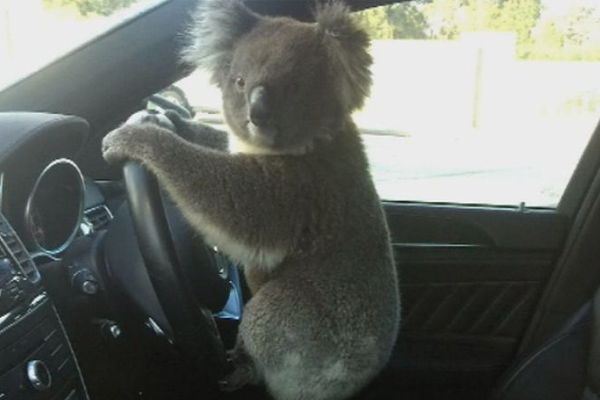 Article image for Koala stops traffic, gets behind the wheel