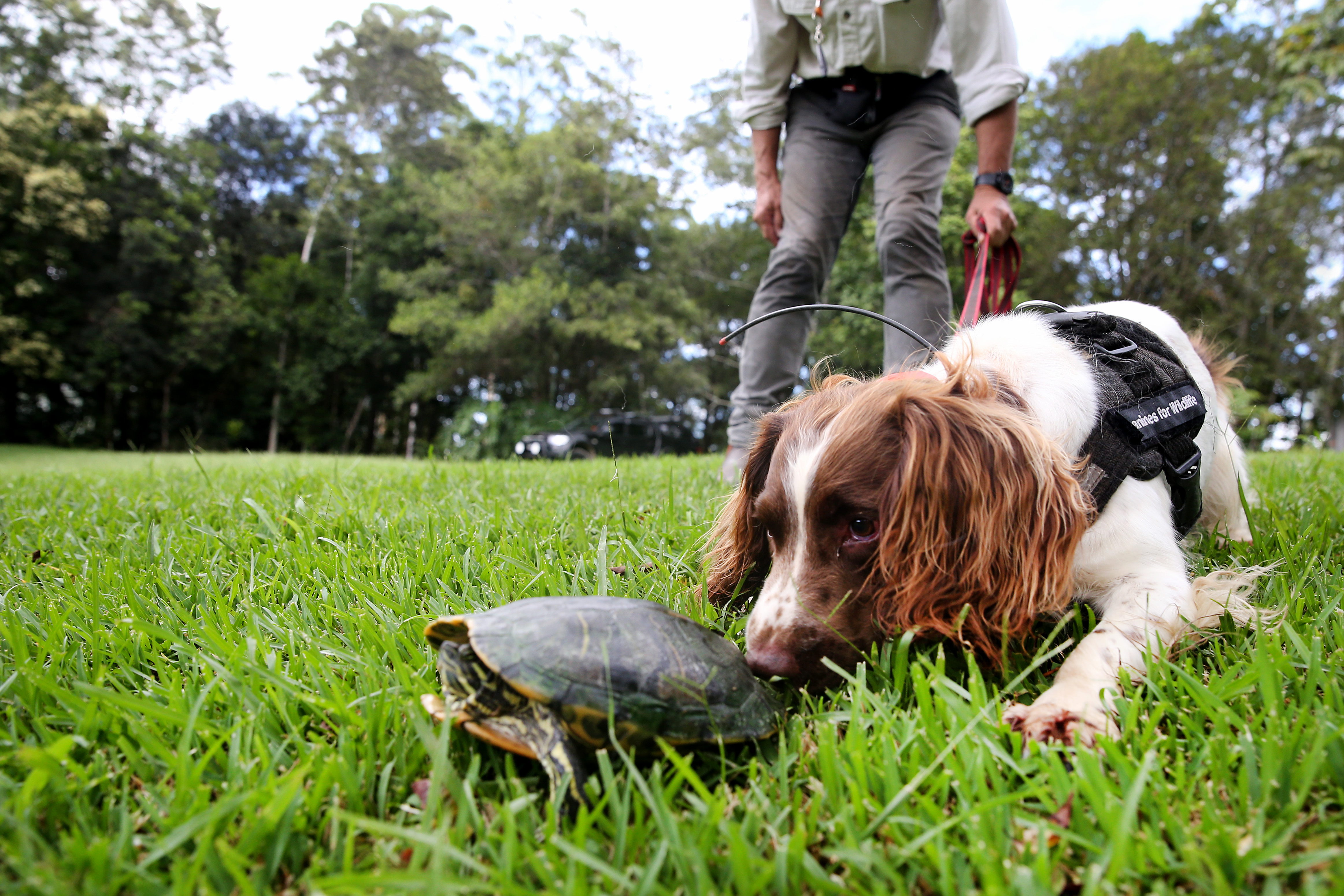 Hard-working canines sniff out feral turtle invasion