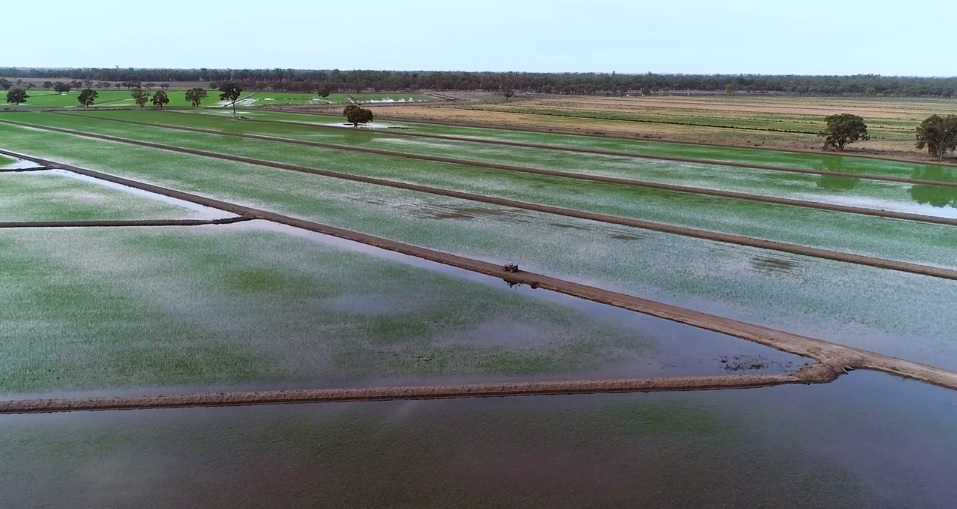 """Rice growers """"warm and fuzzy"""" with post-drought harvest underway"""