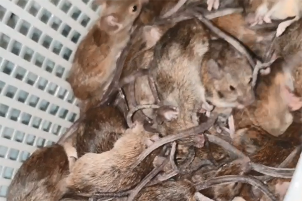Article image for Listener shares sickening footage of mice overrunning home