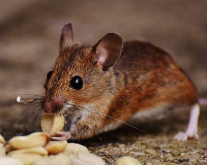Mouse plague update