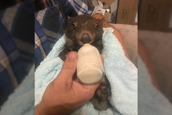 Article image for Ruby the Wombat in good hands after Jim Wilson's rescue