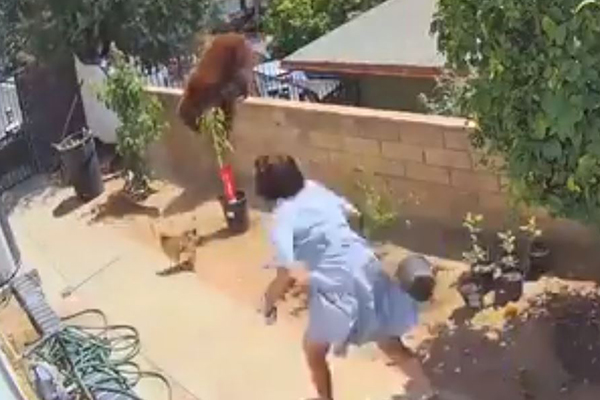 Article image for WATCH | Woman pushes brown bear to save pet dogs