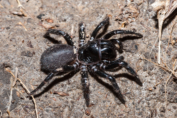 Article image for Deadly funnel-web could be key to saving lives