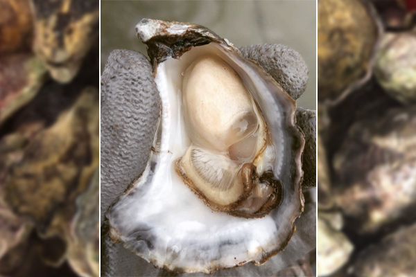 Article image for Perseverance in face of disaster gains Tathra oyster farmers national recognition