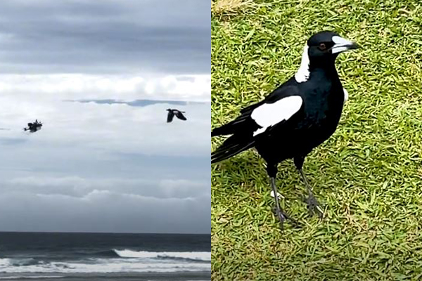 Article image for WATCH | Magpie takes on drone