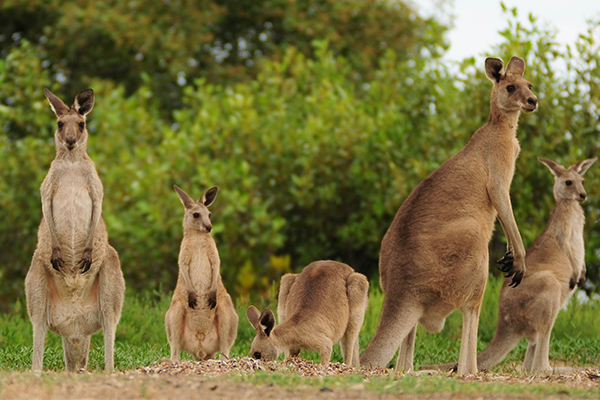 Article image for Teens charged with mass slaughter of kangaroos on NSW South Coast
