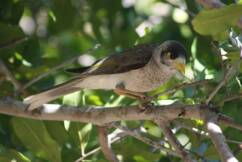 Muting the noisy miners
